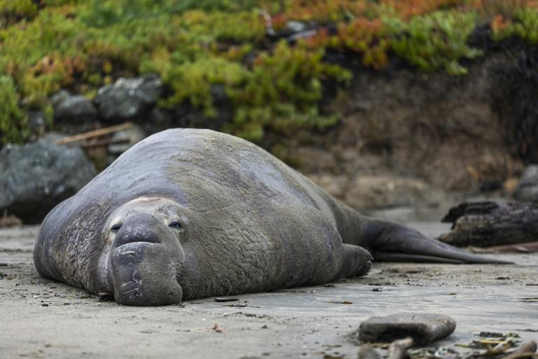 A bull elephant seal rests on the sand at Drakes Beach in Inverness, California