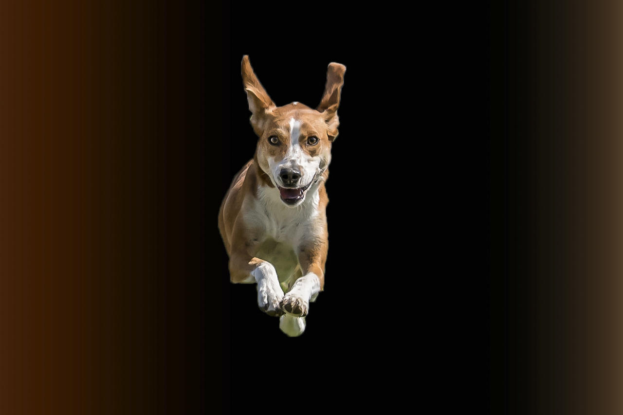 <p>These excited pooches are flying without wings in this series of hilarious images. (Photo: Peter Mueller/Caters News) </p>