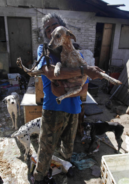 "In this photo Oct. 7, 2013 photo, Nestor Vergara, 55, holds one of his Dalmatians in his backyard, in Padre Hurtado, a town on the outskirts of Santiago, Chile. After watching the 1996 Disney movie ""101 Dalmatians,"" Vergara began fantasizing about rescuing and taking care of as many dogs as possible. Today, 42 Dalmatians live in the backyard of his modest home. (AP Photo/Luis Hidalgo)"