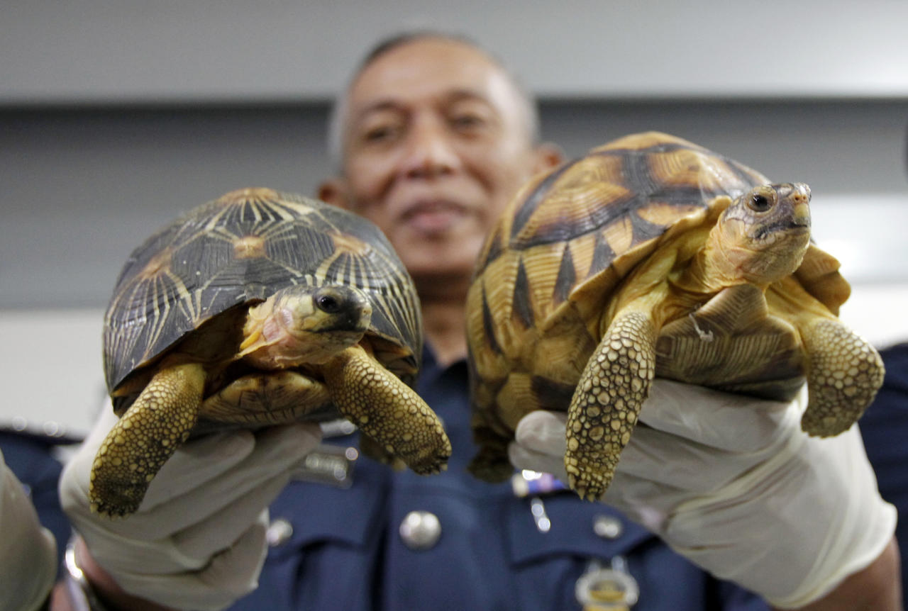 Deputy Customs Director, Abdul Wahid Sulong shows off seized Ploughshare, right and Indian Star, left, tortoise after a press conference at Customs office in Sepang, Malaysia, Malaysia on Monday, May 15, 2017. Malaysian authorities say they have seized 330 exotic tortoises from Madagascar worth 1.2 million ringgit ($276,721) in the latest heist of illegal wildlife and animal parts being smuggled into the country. (AP Photo/Daniel Chan)
