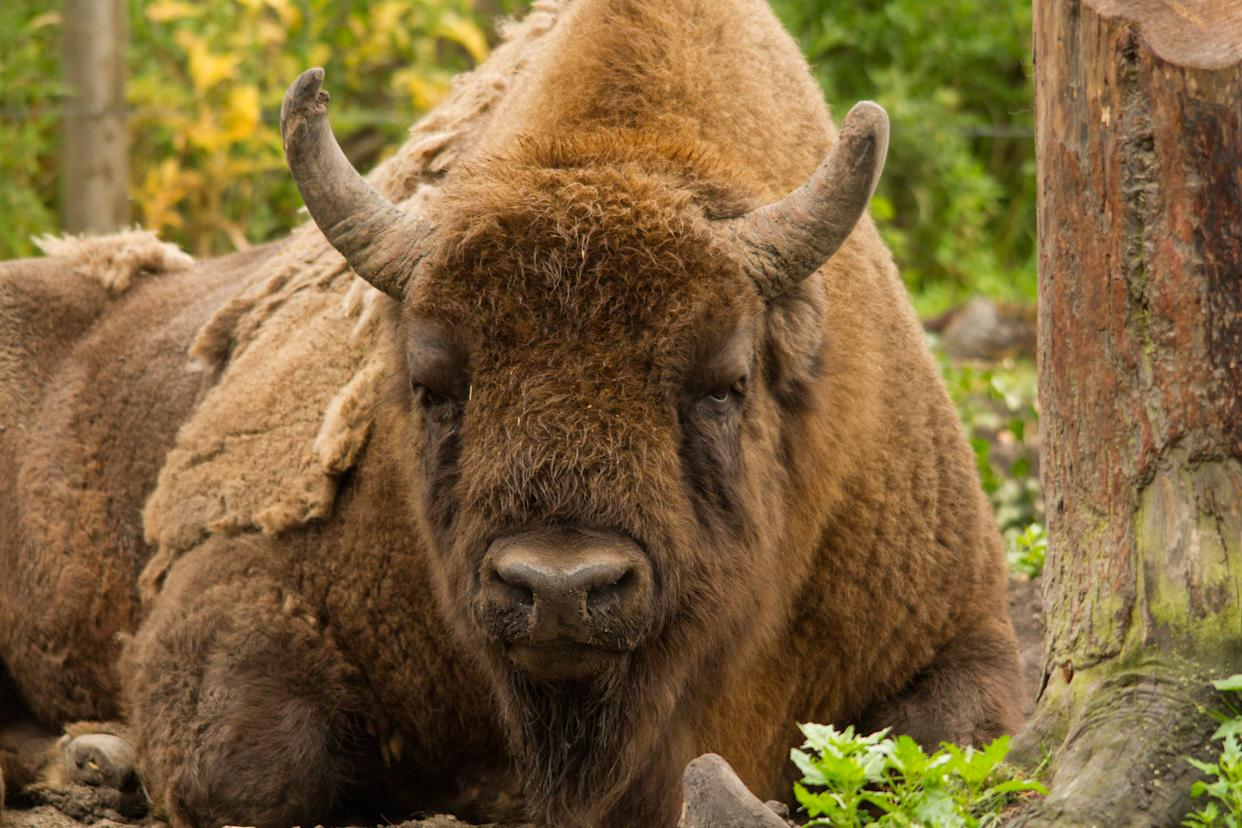 Bison at The Wildwood Trust (Tom Cawdron/PA)