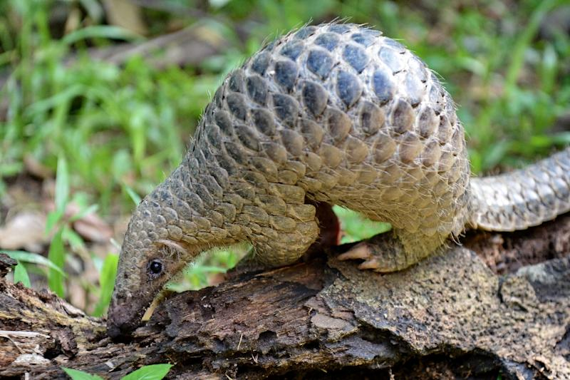 Vietnam is fighting an uphill battle against the lucrative ivory and pangolin trade (AFP Photo/ROSLAN RAHMAN)