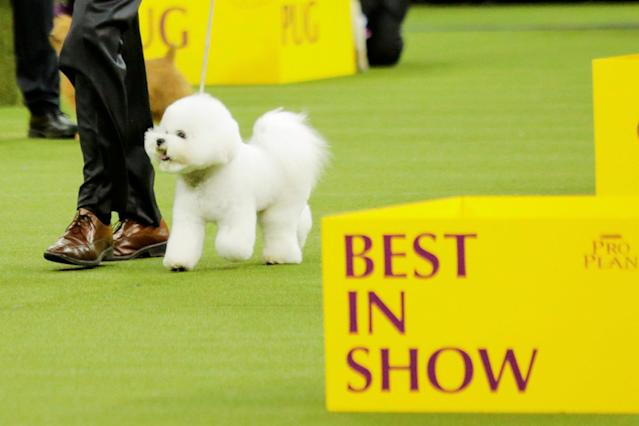 Flynn, a bichon frise walks the ring before winning the Best in Show at the 142nd Westminster Kennel Club Dog Show in New York, U.S., February 13, 2018. REUTERS/Eduardo Munoz