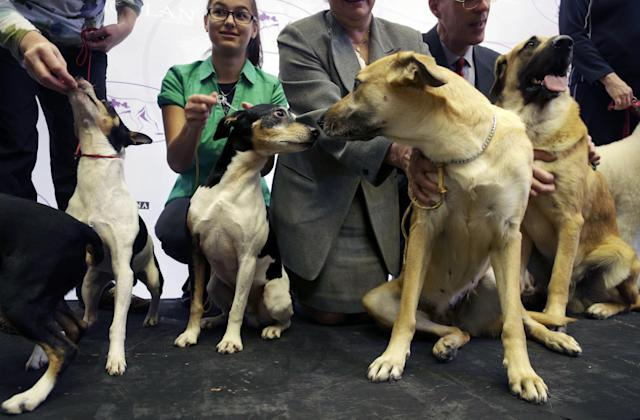 A rat terrier, center left, gets acquainted with a chinook during a news conference in New York, Wednesday, Jan. 15, 2014. The rat terrier and the chinook are two of the three new breeds that will be competing at the 138th Westminster Dog Show starting Feb. 10, 2014. (AP Photo/Seth Wenig)