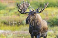 <p>In the city of Fairbanks, feeding any alcoholic beverage to a moose is a very serious offense. Probably best to keep large, wild animals sober, anyway.</p>