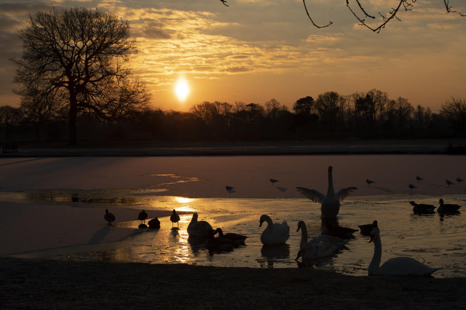 A swan flaps its wings during sunrise on the partially frozen Heron Pond, in Bushy Park, south west London, as temperatures dropped below freezing overnight, Thursday, Feb. 11, 2021. Britain's Met Office said Thursday temperatures dropped overnight to -22.9 degrees Celsius in Braemar, Scotland, making it provisionally the coldest night in the United Kingdom since 1995. (AP Photo/Matt Dunham)