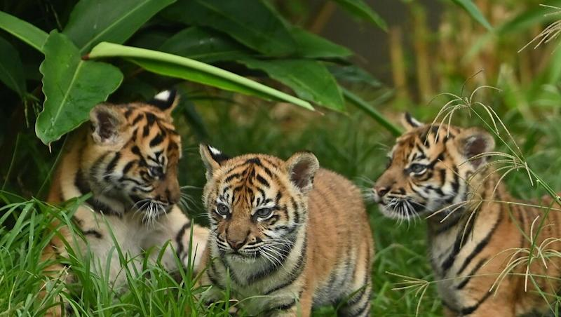 Bodies of 7 Tiger Cubs Found in a Car in Vietnam, Felines Likely Killed for Meat