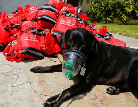 """FILE PHOTO: Labrador """"Emma"""" demonstrates how to use a pet oxygen mask in San Diego"""