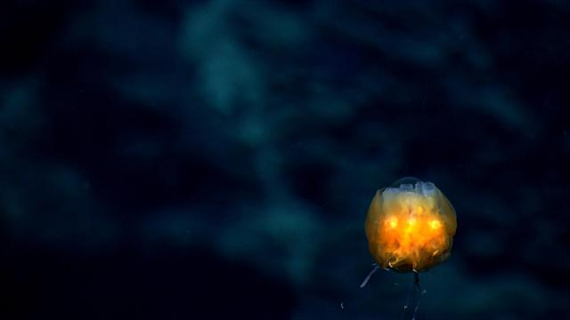 <p><span>This rare glowing dandelion siphonophore is composed of many individual animals working together to absorb nutrients. (Photo: NOAA Okeanos Explorer Program; 2013 Northeast U.S. Canyons Expedition Science Team)</span> </p>