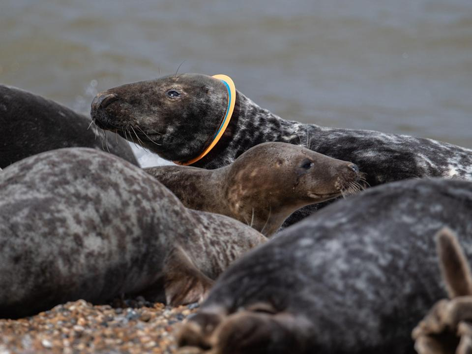 The piece of industrial piping was known to have been stuck around the seal's neck for over two years (PA)