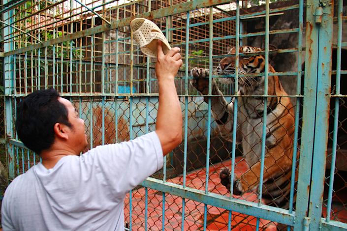 FILE - In this file photo taken on July 4, 2012, caretaker Lai Van Xa provokes a tiger with his plastic sandal at a tiger farm in southern Binh Duong province, Vietnam. Conservationists allege that Vietnam's 11 registered tiger farms are merely fronts for a thriving illegal market in tiger parts, highly prized for purported - if unproven - medicinal qualities. (AP Photo/Mike Ives, File)