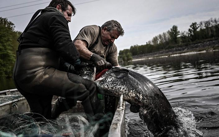 rench fishermen pull out a sheatfish from the waters of the Dordogne - AFP