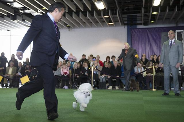 """Kaz Hosaka runs with Beauty, a toy poodle, during the Westminster Kennel Club dog show, Monday, Feb. 10, 2014, in New York. Beauty won """"Best of Breed"""" in the Toy Poodle category. (AP Photo/John Minchillo)"""