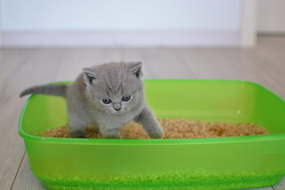 British shorthair blue kitten in green plastic toilet tray box with litter.