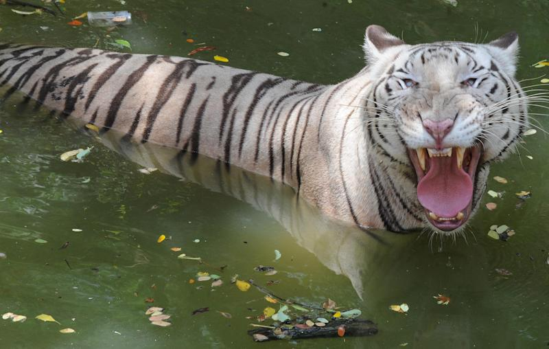 An Indian white Bengal tiger gestures towards onlookers at the Nehru Zoological Park in Hyderabad on June 5, 2010 (AFP Photo/Noah Seelam)