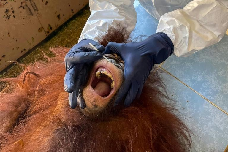 Dozens of critically endangered orangutans in Malaysia have been tested for the coronavirus (AFP/Handout)