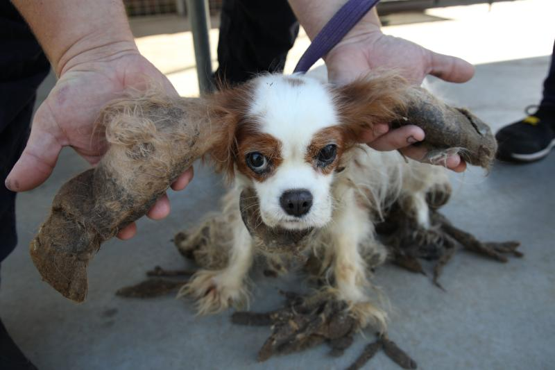 Pictured is Maggie, one of the four dogs rescued by the RSPCA, with her matted hair on her ears.