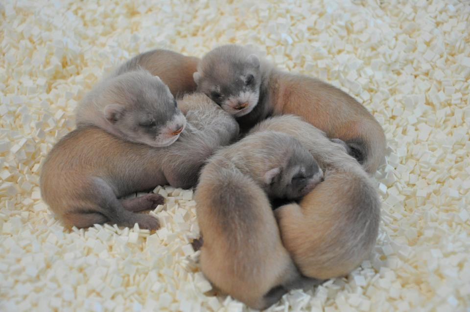 So far this breeding season, 25 black-footed ferret kits have been born at the Phoenix Zoo, including this litter of five.