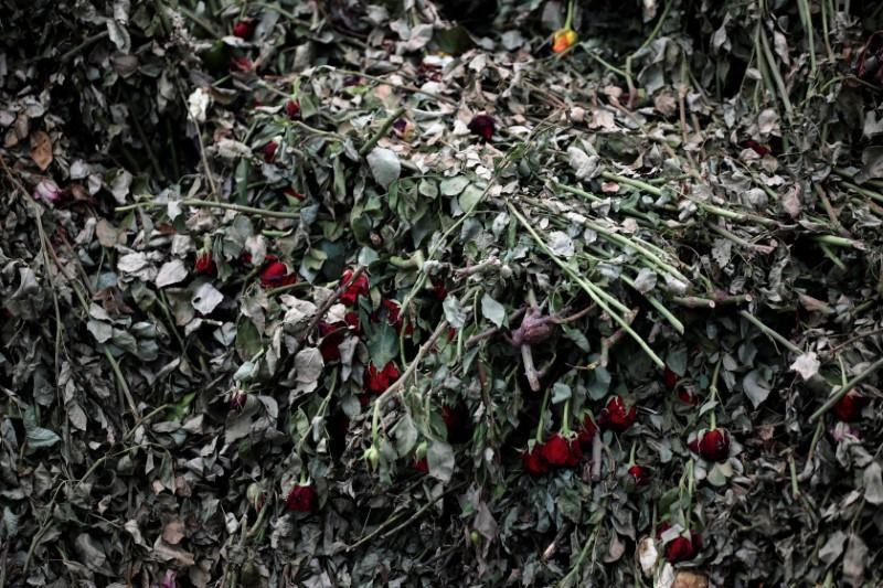 Fading roses are discarded as they cannot be shipped to Europe due of the spread of the coronavirus disease at the Maridadi flower farm in Naivasha