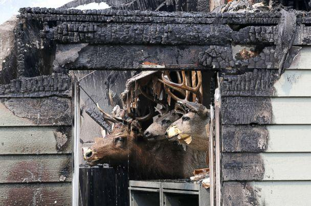 PHOTO: Taxidermied animal heads are displayed inside a home that was destroyed by the Carr Fire on July 27, 2018, in Redding, Calif. (Justin Sullivan/Getty Images)