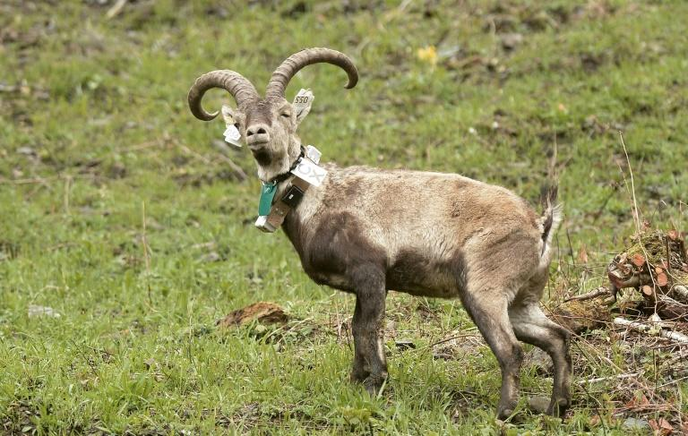 Long gone, ibex gains foothold in French Pyrenees