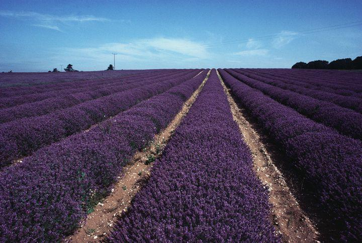 "<p><strong>Looks like: </strong>Provence, France</p><p>If your plans to Provence have been scuppered this year, then take the somewhat shorter trip to Norfolk instead to take in its beautiful lavender meadows. Founded in 1932, the famed farm occupies 100 acres of scented lavender fields, as well as an oil distillery, gift shop and on-site restaurant.</p><p><strong>Stay at: </strong><a href=""https://www.magazinewood.co.uk/"" target=""_blank"">Magazine Wood</a>, a cross between a country house and a boutique hotel, which is only a 10-minute drive from Norfolk Lavender and walking distance from local beaches.</p>"