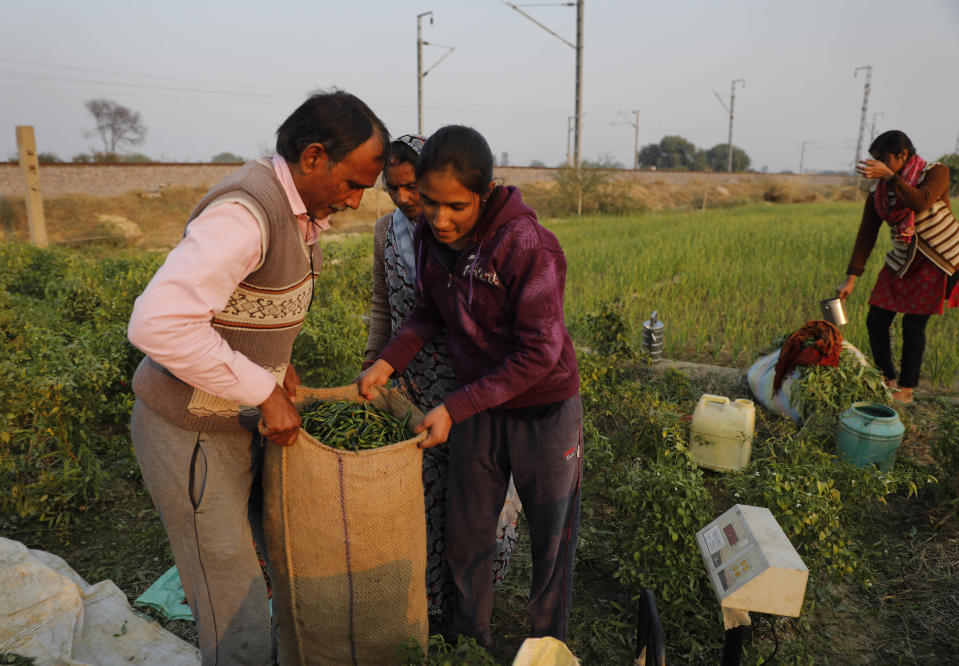 Family members help Indian farmer Ram Singh Patel, left, to weigh a sack of freshly yielded chillies at his farm in Fatehpur district, 180 kilometers (112 miles) south of Lucknow, India, Saturday, Dec. 19, 2020. Patel's day starts at 6 in the morning, when he walks into his farmland tucked next to a railway line. For hours he toils on the farm, where he grows chili peppers, onions, garlic, tomatoes and papayas. Sometimes his wife, two sons and two daughters join him to lend a helping hand or have lunch with him. (AP Photo/Rajesh Kumar Singh)