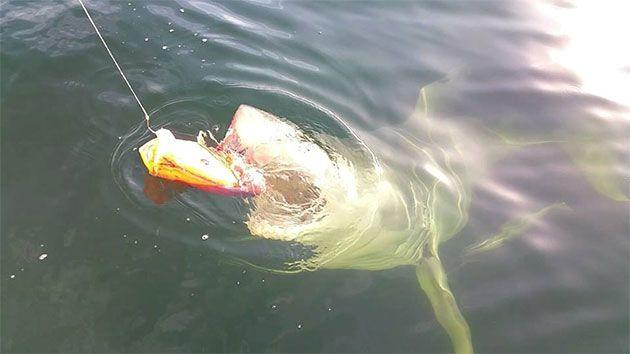 This is the moment the giant sea creature locked jaws with its lunch. Photo: Supplied