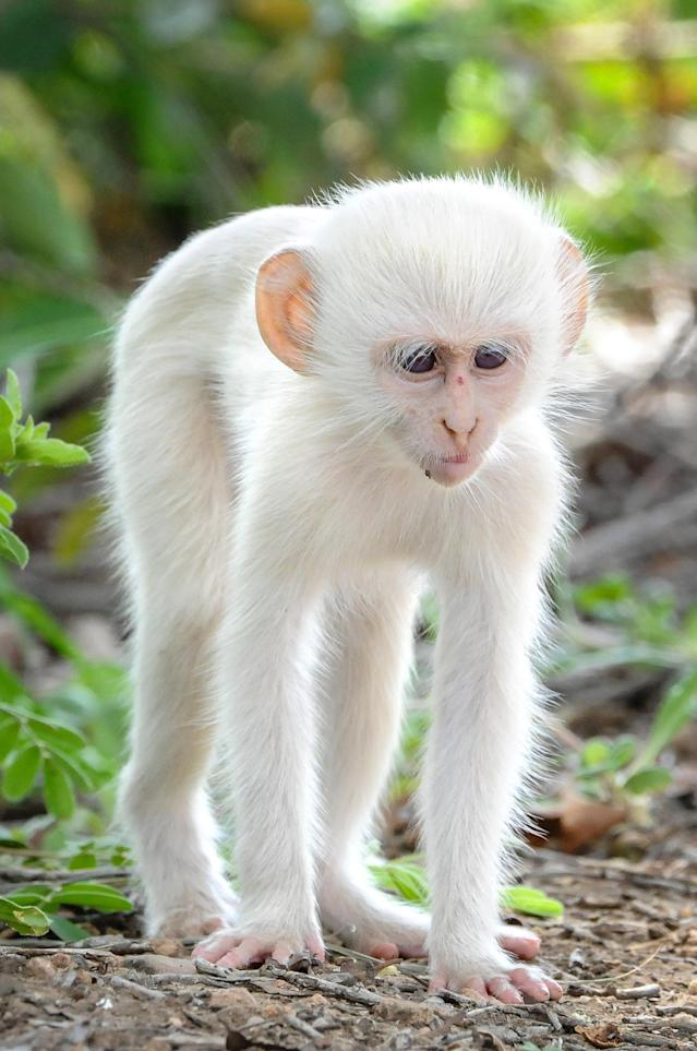 <p>The stunning albino monkey stays near to the bushes and trees. (Photo: Christy Strever/Caters News) </p>