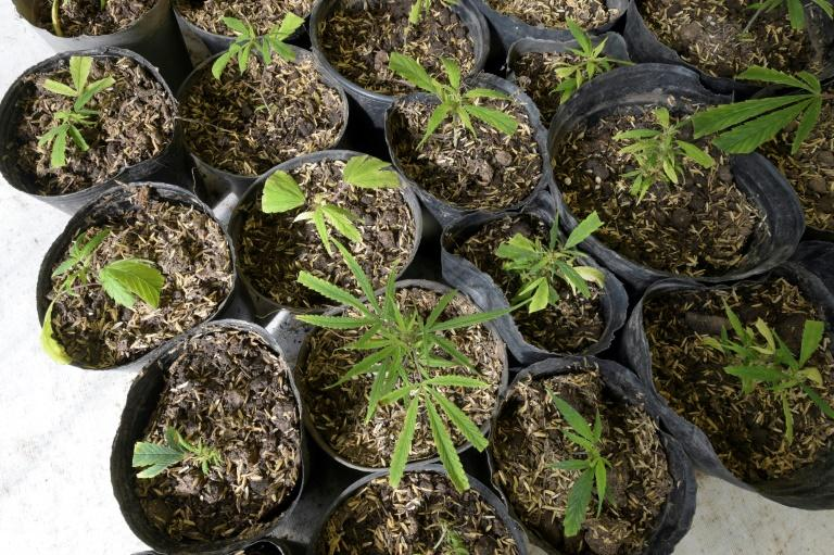 There are three ways to access cannabis in Uruguay: growing it at home; growing it in a club as part of a cooperative; or buying it in the pharmacy