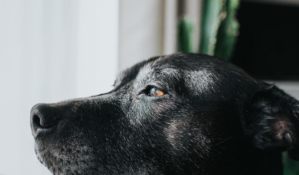 close up of dog looking window
