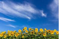 """<p>A couple of years ago, this enormous, privately-owned sunflower field become an internet sensation thanks in part to <a href=""""https://www.countryliving.com/life/a39161/this-stunning-aerial-video-of-a-sunflower-field-is-just-what-your-monday-needs/"""" rel=""""nofollow noopener"""" target=""""_blank"""" data-ylk=""""slk:this incredible aerial video of the field"""" class=""""link rapid-noclick-resp"""">this incredible aerial video of the field</a> that went viral. Now you can visit the flower patch, located at the intersection of Highway 14 and Highway 33 in Autaugaville, Alabama, but all visitors should note that flower picking is not allowed. """"We are just asking that no one cuts or picks the flowers. They are our livelihood,"""" owner Todd Sheridan told the <a href=""""https://www.montgomeryadvertiser.com/story/news/local/progress/2016/07/14/autaugaville-sunflower-field-brightening-lives/87076718/"""" rel=""""nofollow noopener"""" target=""""_blank"""" data-ylk=""""slk:Montgomery Advertiser"""" class=""""link rapid-noclick-resp"""">Montgomery Advertiser</a>. Admiring the field and photography are perfectly okay!</p><p><a class=""""link rapid-noclick-resp"""" href=""""https://go.redirectingat.com?id=74968X1596630&url=https%3A%2F%2Fwww.tripadvisor.com%2FTourism-g29007-Autaugaville_Alabama-Vacations.html&sref=https%3A%2F%2Fwww.countryliving.com%2Flife%2Ftravel%2Fg21937858%2Fsunflower-fields-near-me%2F"""" rel=""""nofollow noopener"""" target=""""_blank"""" data-ylk=""""slk:PLAN YOUR TRIP"""">PLAN YOUR TRIP</a></p>"""