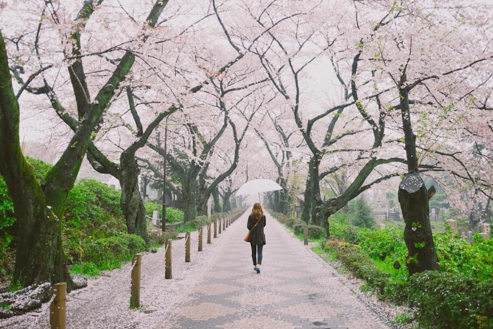 Woman holding an umbrella walking through a row of cherry blossom trees in full bloom