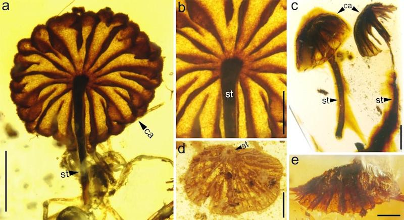 Researchers are amazed at how similar the ancient specimens are to modern mushrooms: Cai et al