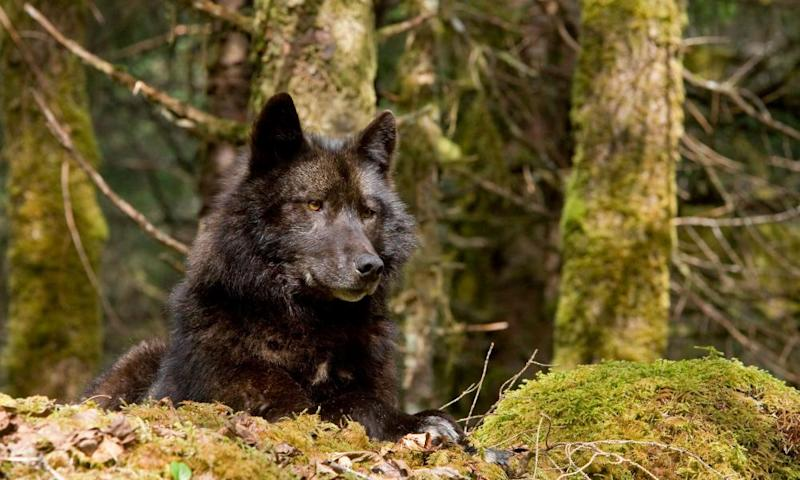 A wolf rests in a mossy bed on the forest floor of the Tongass national forest.