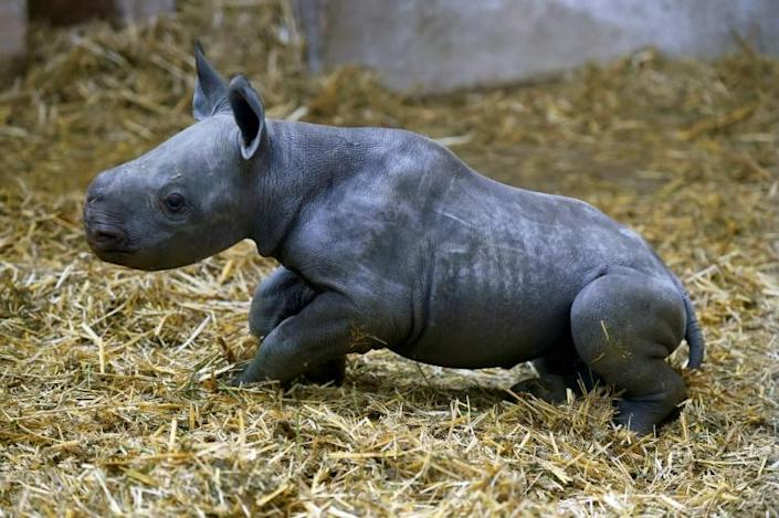 """It's an event because it's the first black rhino to be born in a French zoo,"" the Bassin d'Arcachon Zoo said in a statement (AFP Photo/NICOLAS TUCAT)"