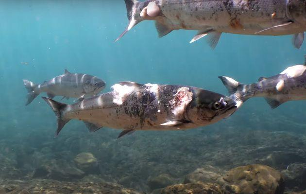 Environmental advocates are blaming unusually warm temperatures this year for salmon deaths and illnesses in the Pacific Northwest. One video shows the physical effects of the heat on sockeye salmon. (Photo: Columbia Riverkeeper/YouTube)