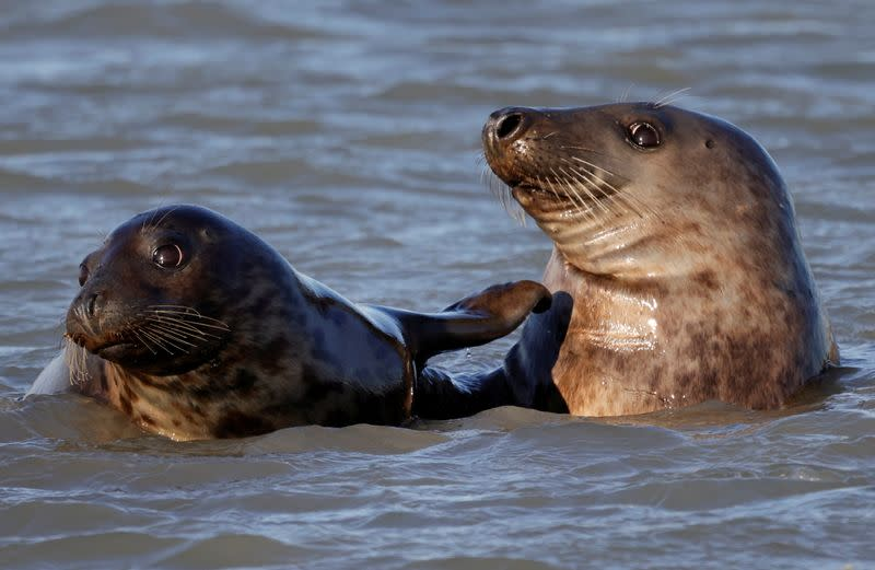 Seals stage a comeback on France's northern coast