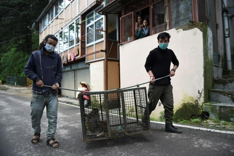 Efforts to control the monkeys have failed to blunt their frequent attacks on tourists and farms