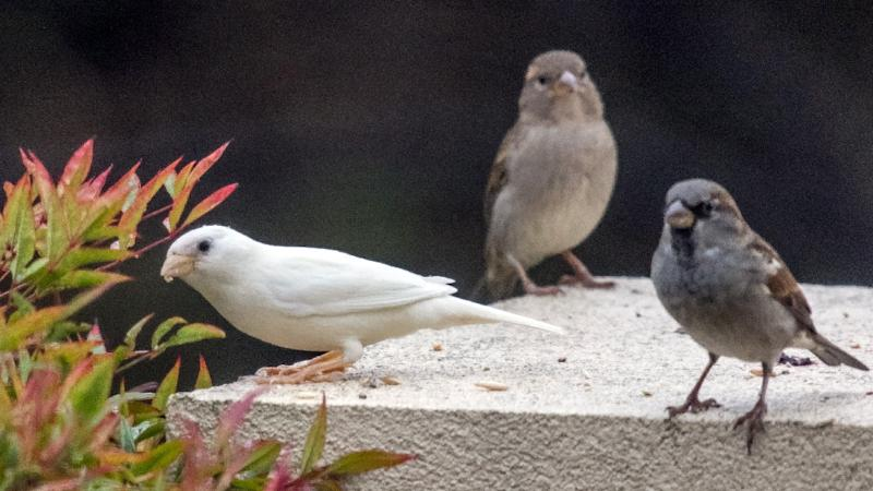 An albino sparrow (L), one of the rarest birds in the world, is seen in the outer Melbourne suburb of Point Cook (AFP Photo/Bob Winters)