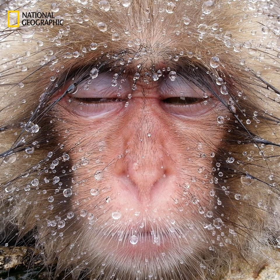 <p>Droplets of melted snow are sprinkled over the face of a monkey in Nagano, Japan. (Hiroshi Tanita/2016 National Geographic Nature Photographer of the Year)</p>