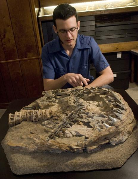Dana Ehret, lead author of a University of Florida study on the origin of great white sharks, analyzes a 4.5-million-year-old fossil at Gordon Hubbell's private gallery in Gainesville, Fla., on March 6, 2009.