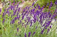 """<p>This romantic perennial works in any garden setting, and its silvery foliage is attractive even before the fragrant purple spikes of flowers appear. Choose a type of lavender that will survive in your USDA hardiness zone. Needs mostly sun.</p><p>Varieties to try: Phenomenal, Munstead</p><p><a class=""""link rapid-noclick-resp"""" href=""""https://go.redirectingat.com?id=74968X1596630&url=https%3A%2F%2Fwww.homedepot.com%2Fp%2FBrighter-Blooms-1-Qt-Flowering-Phenomenal-Lavender-Shrub-with-Purple-Blooms-LAV-PHE1QT%2F312723624%3Fsource%3Dshoppingads%26locale%3Den-US%26mtc%3DShopping-B-F_D28O-G-D28O-28_8_LIVE_GOODS-NA-NA-NA-SMART-NA-NA-SMART_SHP%26cm_mmc%3DShopping-B-F_D28O-G-D28O-28_8_LIVE_GOODS-NA-NA-NA-SMART-NA-NA-SMART_SHP-71700000064169154-58700005694172116-92700051912266616%26gclid%3DCjwKCAjw9MuCBhBUEiwAbDZ-7qdN9HjzHCf6oYAY1BYzB0TUtr0AEr6JCNqMTeMmefdSOqR59RZmUBoCWvgQAvD_BwE%26gclsrc%3Daw.ds&sref=https%3A%2F%2Fwww.housebeautiful.com%2Fentertaining%2Fflower-arrangements%2Fg2411%2Fpopular-flowers-summer%2F"""" rel=""""nofollow noopener"""" target=""""_blank"""" data-ylk=""""slk:SHOP NOW"""">SHOP NOW</a></p>"""