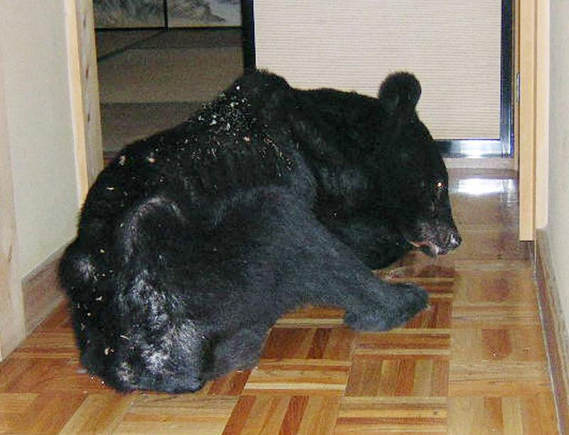 A bear sleeps on the floor of a house in Toyama, central Japan