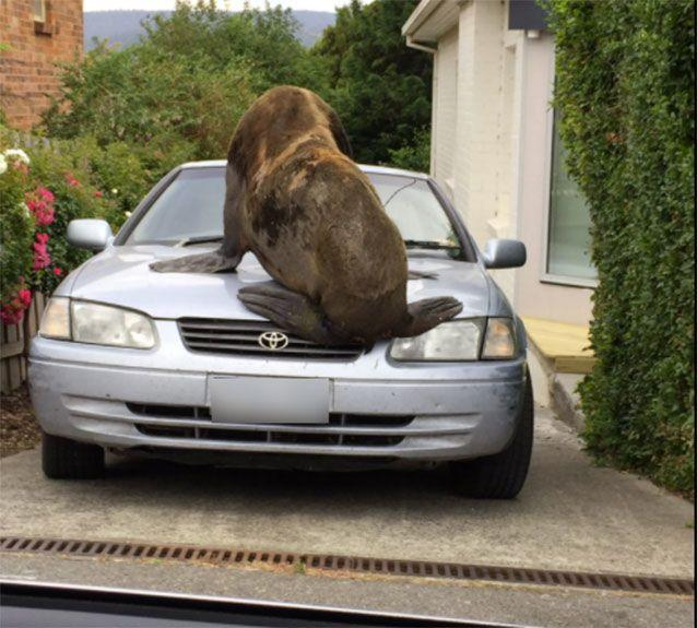 It mounted a Toyota Camry in a driveway. Source: Tasmania Police