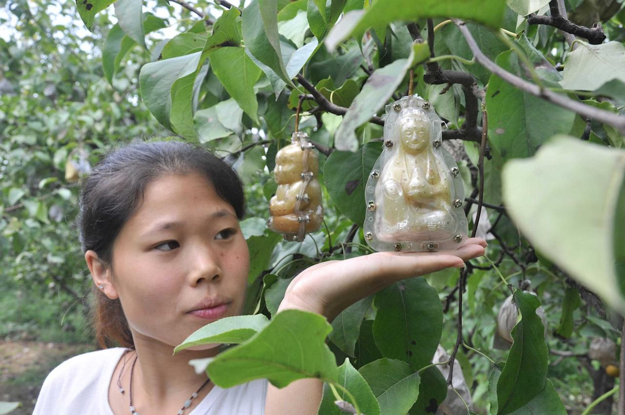 Look out for baby shaped pears in the shops soon. Hao Xianzhang, a farmer in the northern province of Hebei, started to grow baby shaped pears in 2003 and is now taking his efforts to the UK and Europe. Here a woman shows off the baby shaped pear in Handan city (Caters)