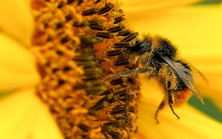 A bumblebee covered with pollen on a sunflower at Becketts Farm in Birmingham - Jacob King /PA