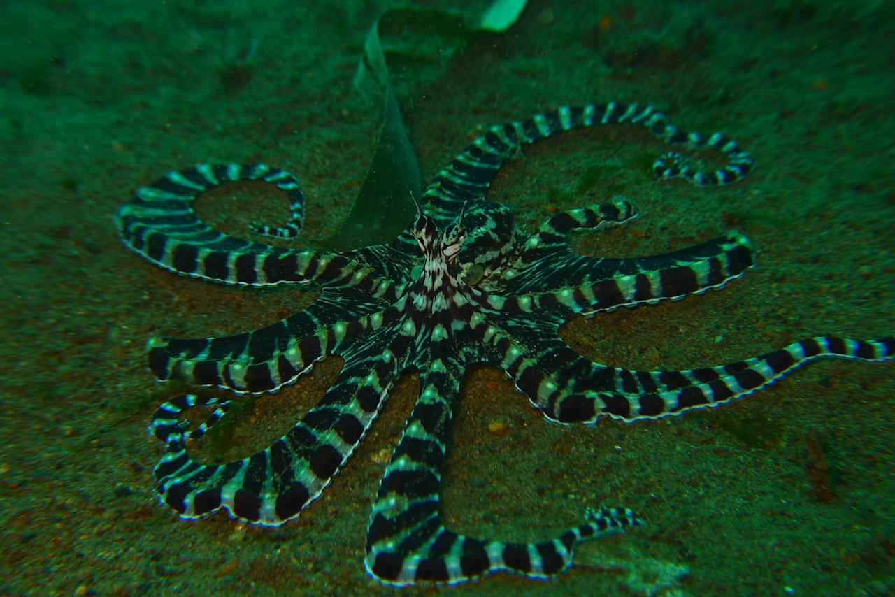 This gorgeous guy, photographed at Taken at Anilao, Philippines, is a Mimic Octopus. The octopus is one of the smartest marine animals around. This particular species will not only change its colours to blend into its surroundings, but will also mimic the movement patterns of other species to fool predators.
