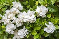 """<p>There's nothing quite like the smell of a gardenia plant, and they tend to do very well outside in the hot summers. They can also be brought indoors as houseplants during the colder months if you don't have year-round warmth. </p><p><a class=""""link rapid-noclick-resp"""" href=""""https://www.amazon.com/Gardenia-Jasmine-Amazing-Beautiful-Flower/dp/B07D8GL2RK/ref=sr_1_5?dchild=1&keywords=gardenia+seeds&qid=1620328483&sr=8-5&tag=syn-yahoo-20&ascsubtag=%5Bartid%7C10070.g.36355297%5Bsrc%7Cyahoo-us"""" rel=""""nofollow noopener"""" target=""""_blank"""" data-ylk=""""slk:Buy gardenia seeds."""">Buy gardenia seeds. </a></p>"""