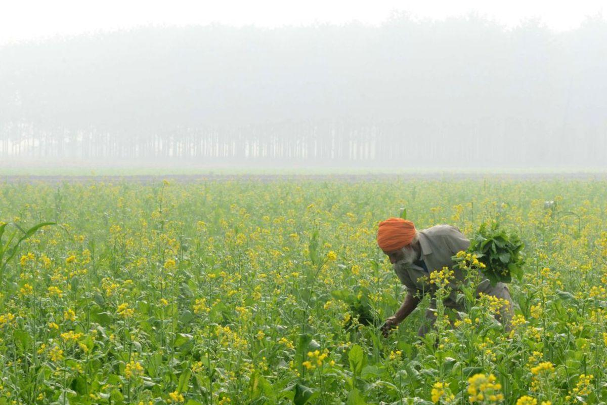 TOPSHOT - An Indian farmer harvests mustard leaves amid heavy smog in a field on the outskirts of Amritsar on November 11, 2017New Delhi banned all construction, barred lorries from entering the city and announced stringent restrictions on private car use on November 9, seeking to combat a massive spike in pollution across large swathes of India and Pakistan. Tens of thousands of schools in Delhi and surrounding states remained closed as a hazardous fog of toxic pollution cloaked the region for a third day, bringing growing calls for urgent government action to tackle what doctors are calling a public health emergency. / AFP PHOTO / NARINDER NANU (Photo credit should read NARINDER NANU/AFP/Getty Images)